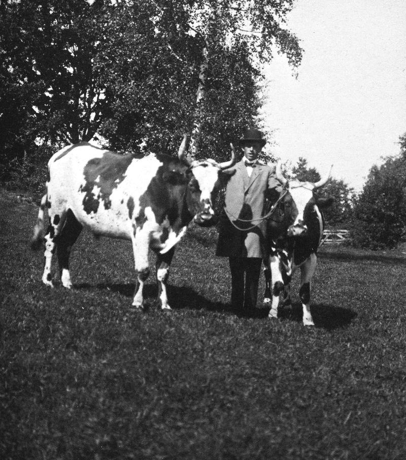Gunnar Melkerssom, då arrendator på Kullebo säteri, på väg till marknaden för att sälja säteriets sista oxar